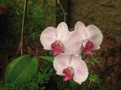 tiger orchid (select to see link for free photos)