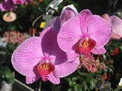2 pink tiger orchid